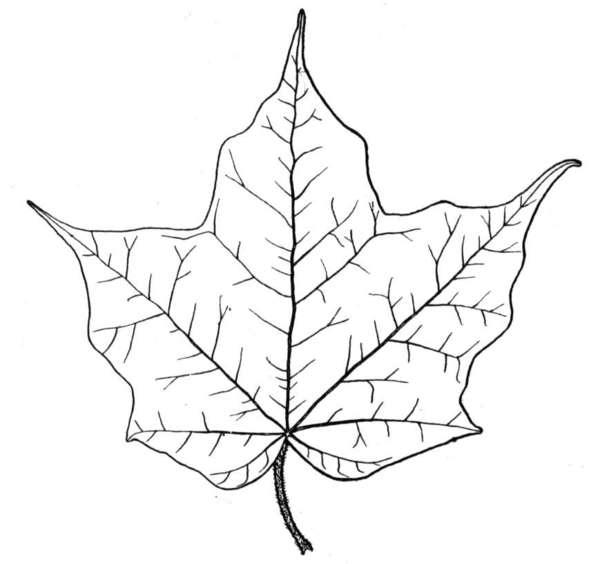 Listek for Maple leaf coloring page